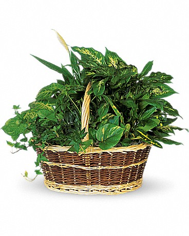 Large Basket Garden    This impressive garden of indoor plants will be a warm welcome to any home or office. Croton, ivy, pothos, dieffenbachia, schefflera and syngonium plants arrive together in a wicker basket with handle.    Buy Now>>