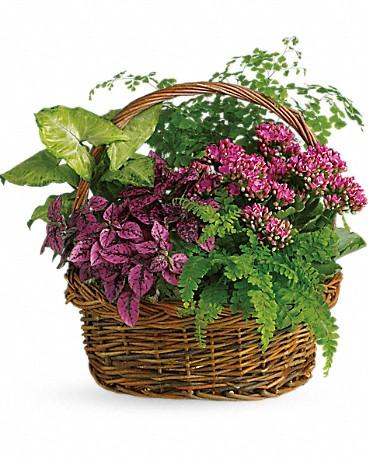 Secret Garden Basket    It will be no secret how you feel about the person lucky enough to receive this beautiful basket. Whether it's someone you work with or someone you live with. Someone near or someone far. This gift is overflowing with robust beauty and lively energy. A pink kalanchoe, hypoestes, green nephthytis and both Boston and maidenhair ferns are delivered in a delightful round wicker basket.    Buy Now>>