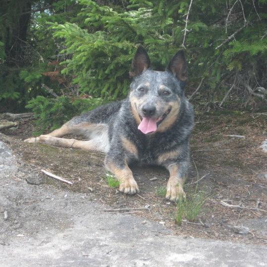 Tess, the Australian Cattle Dog, atop Mt. Pisgah.
