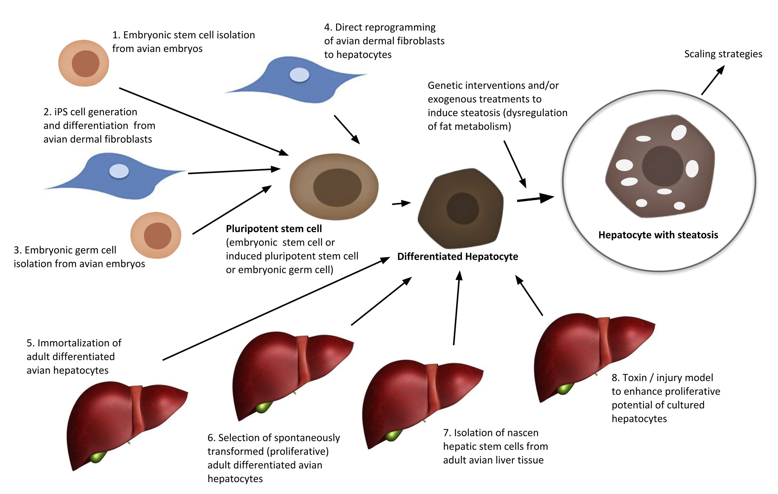 Figure 4a from the patent application, redrawn for readability. An illustration of the possible ways to get mature steatotic hepatocytes that can proliferate indefinitely.