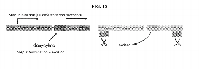 Figure 15 from the patent application. An illustration of a footprint-free cre recombinase system that can turn off a gene of interest.