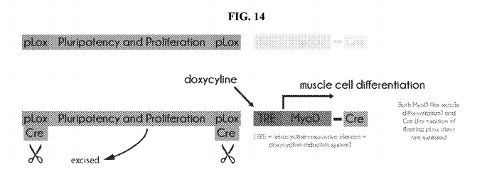 Figure 14 from the patent application. An illustration of a lower-footprint recombinase system that can switch cells from the proliferation phase to the differentiation phase.