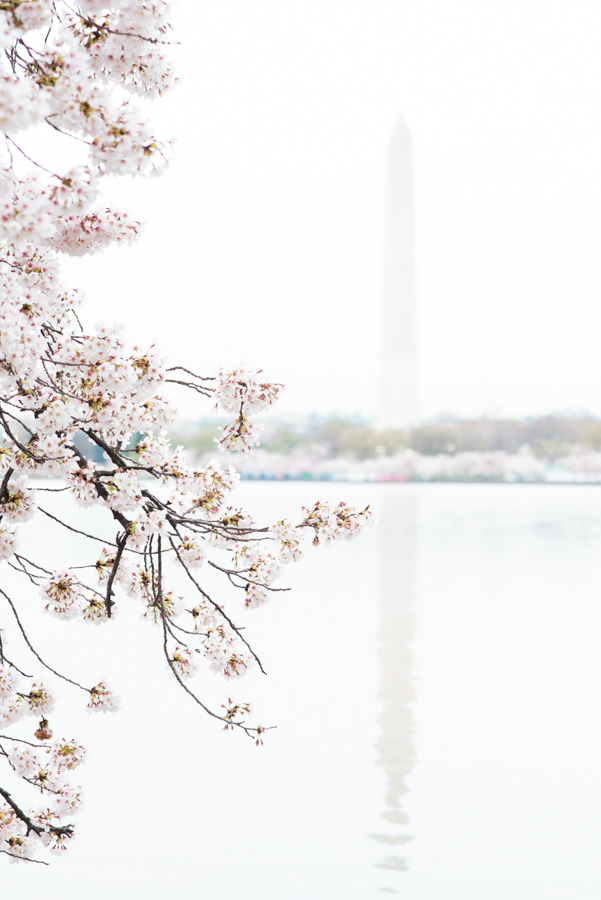 DC Cherry Blossoms 19