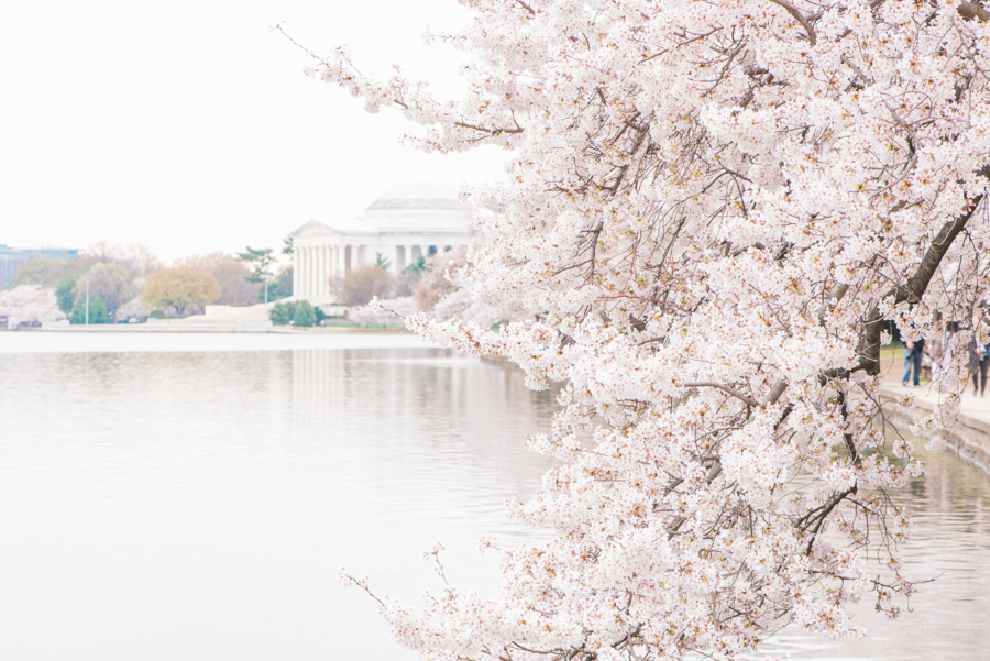 DC Cherry Blossoms 44