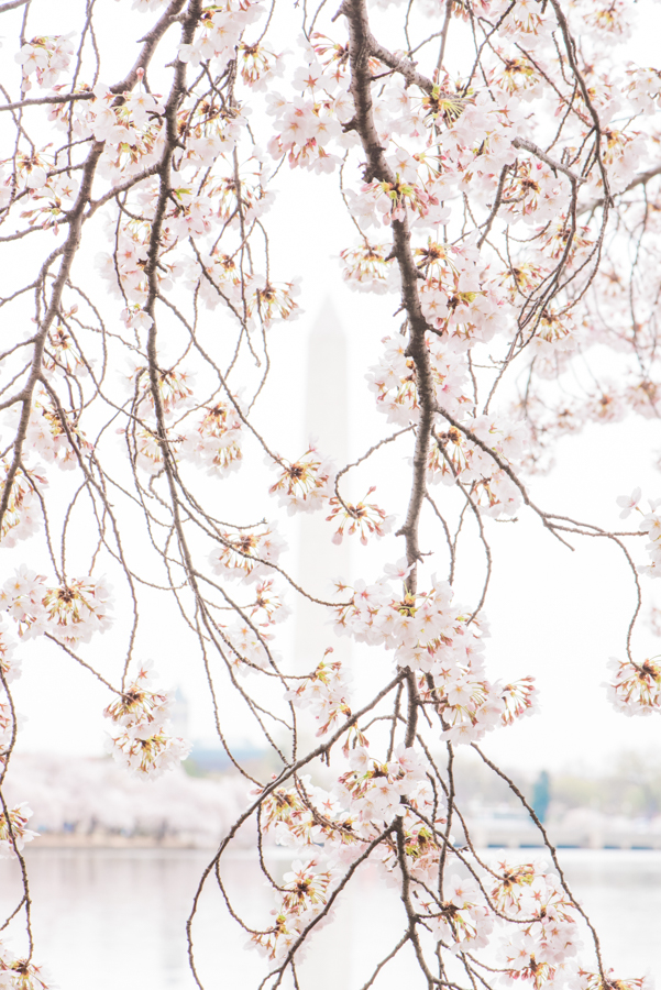 DC Cherry Blossoms 47
