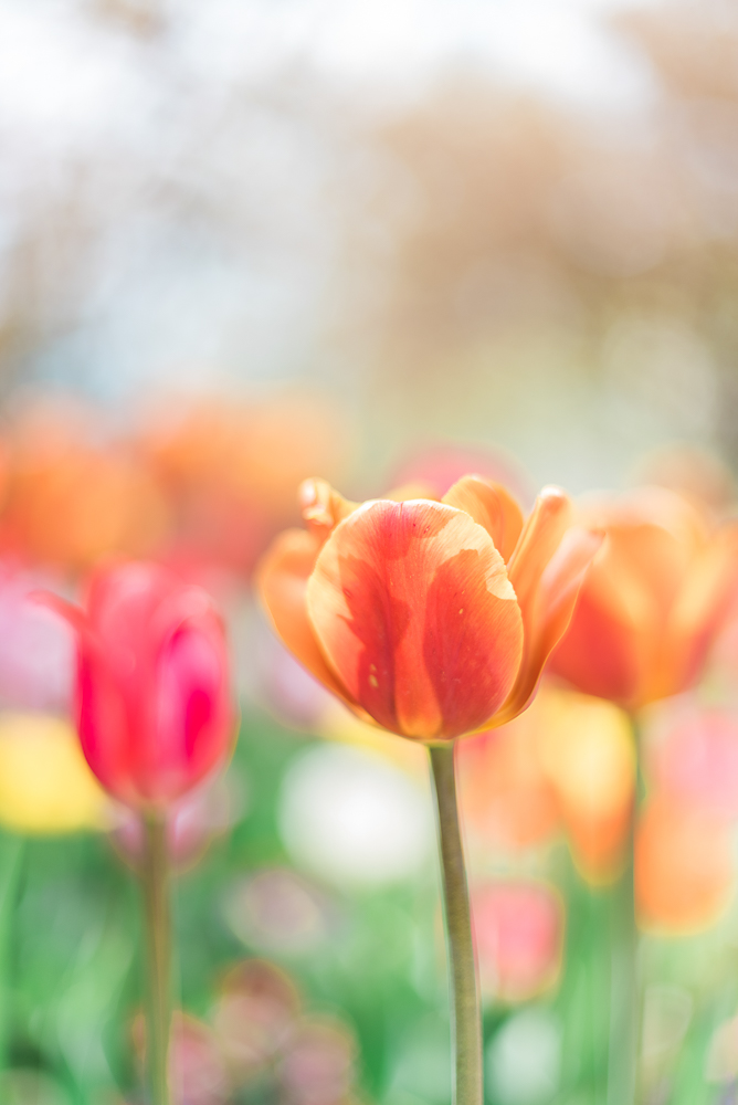 Holland Tulips 1