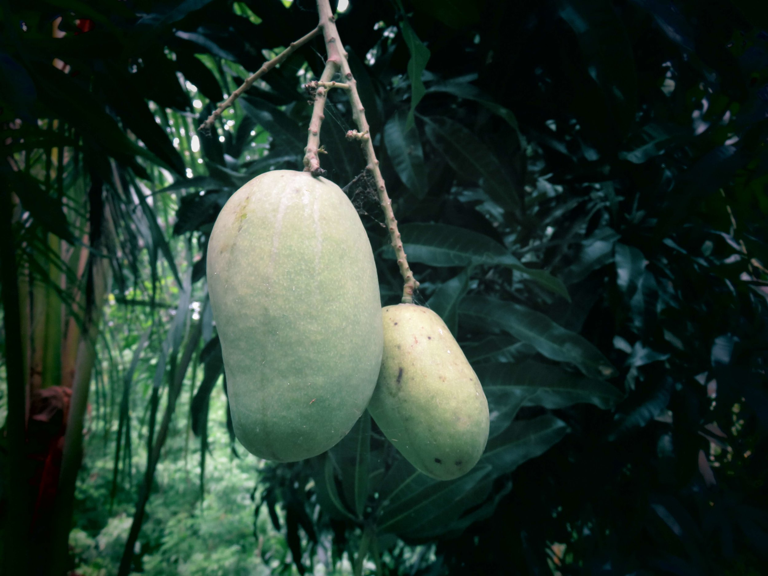 Fruit Forests Selvista Farm - Mango House