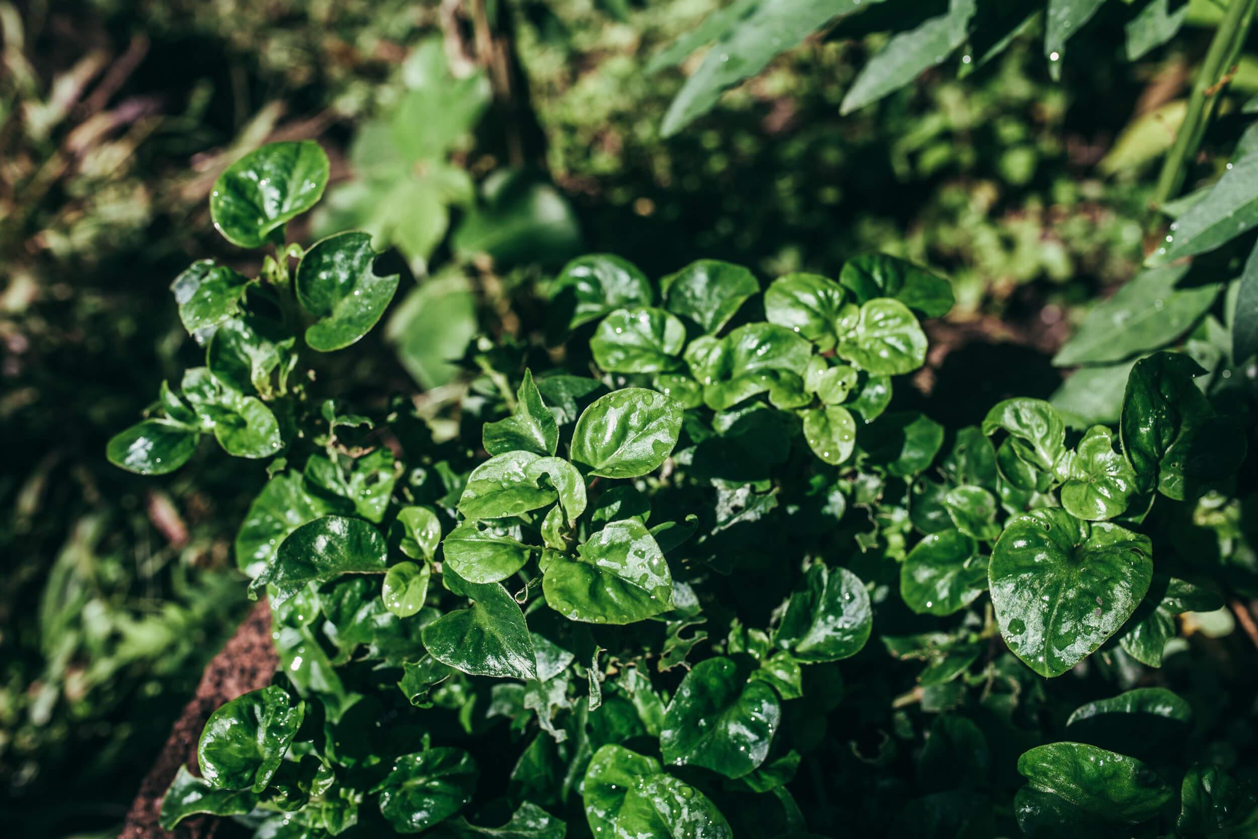 spinach- espinaca brasilena, samba lettuce, Selvista gardens