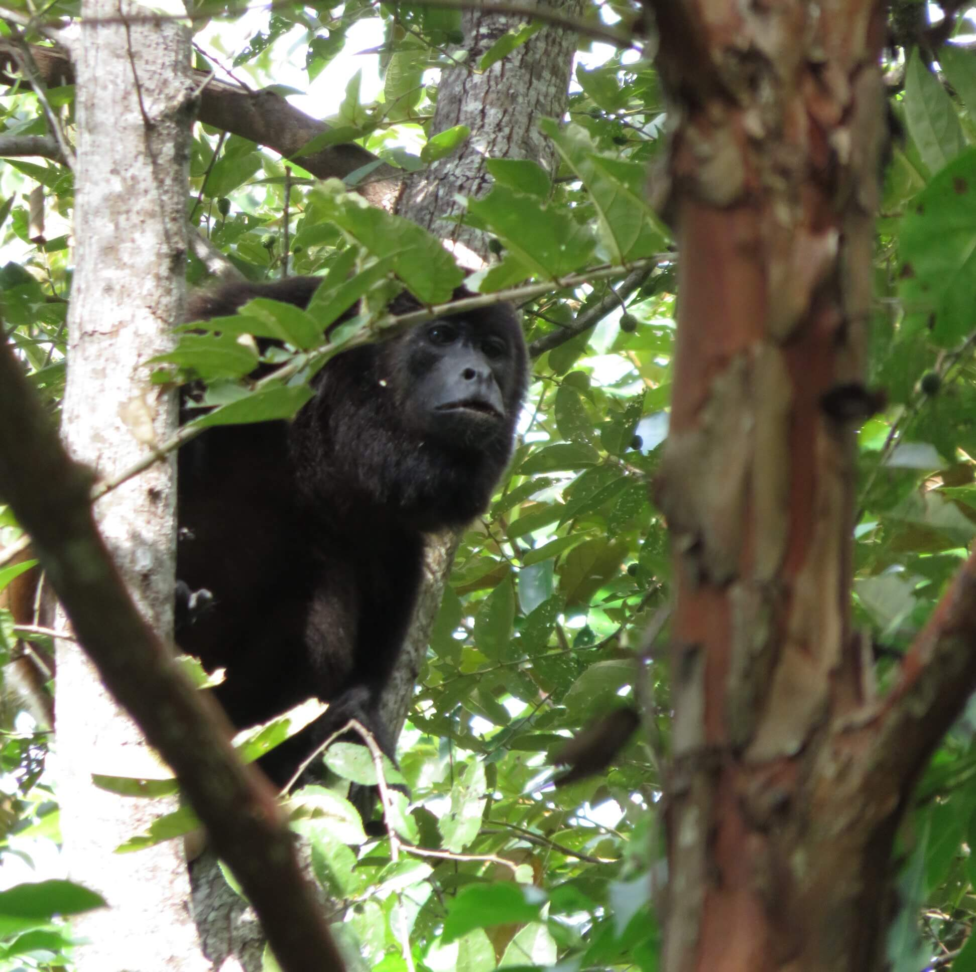 howler monkey, common sight, Selvista gardens, Isla Ometepe wildife