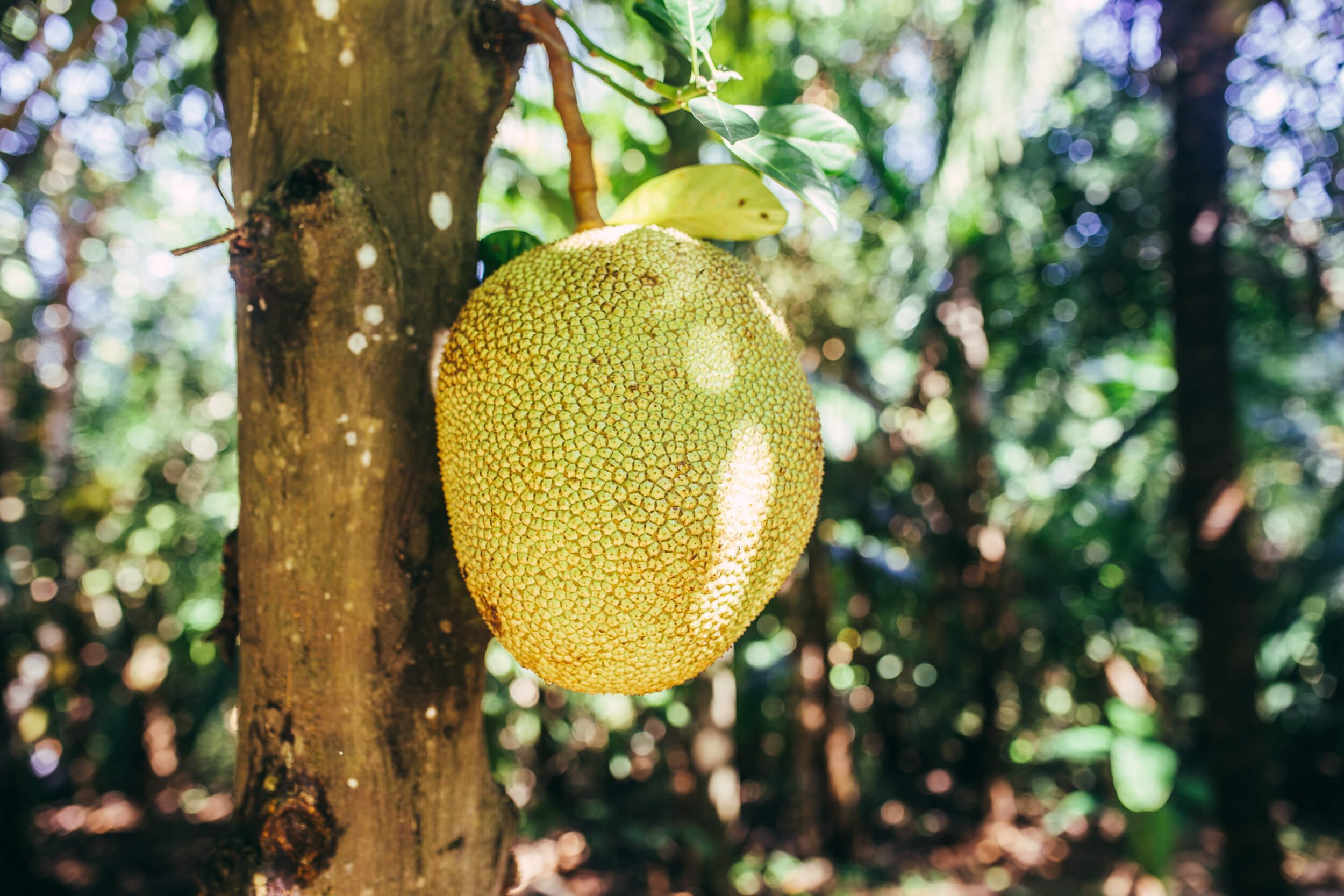 jackfruit growing on the tree. Selvista farm produce
