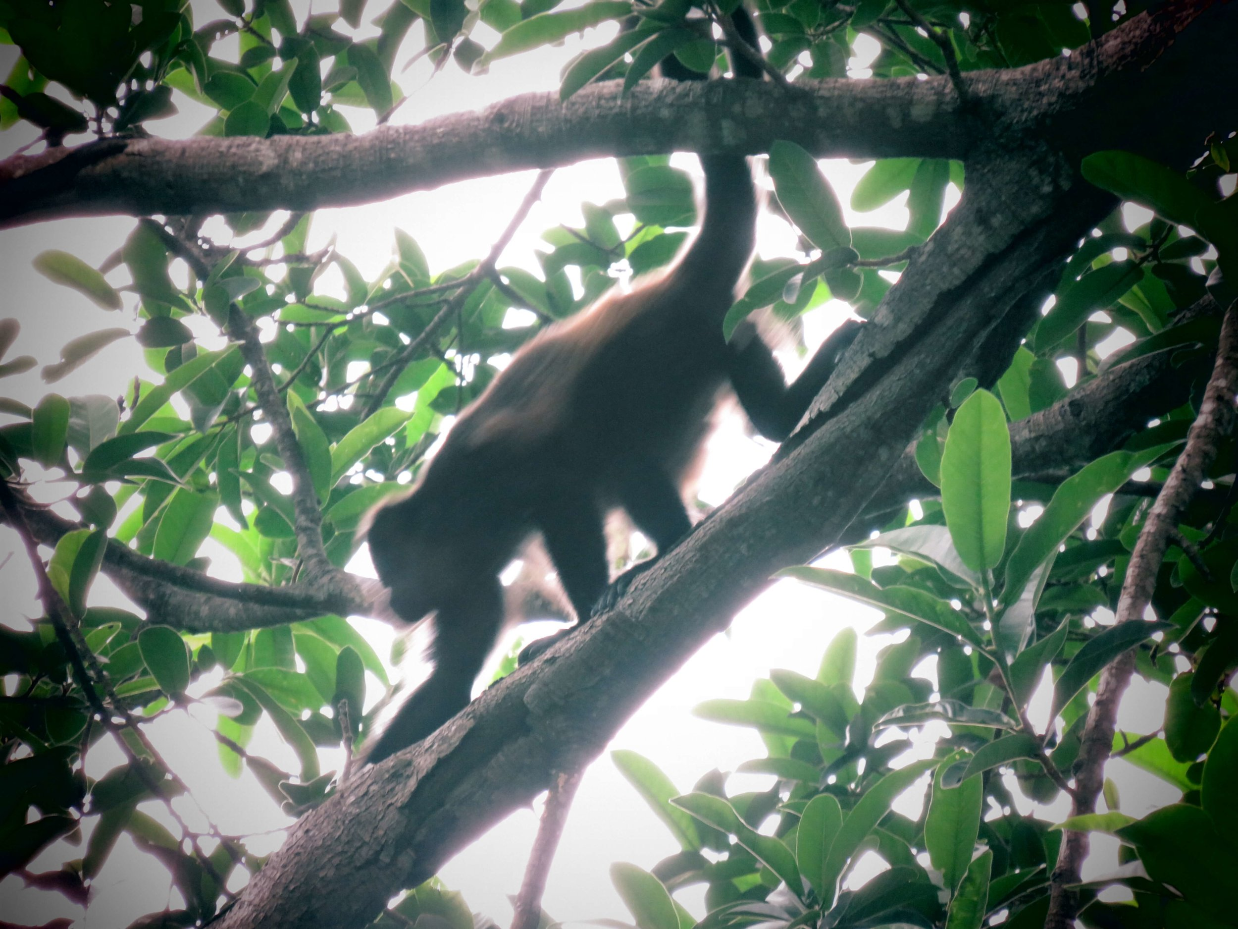 Howler monkeys frequently pass through