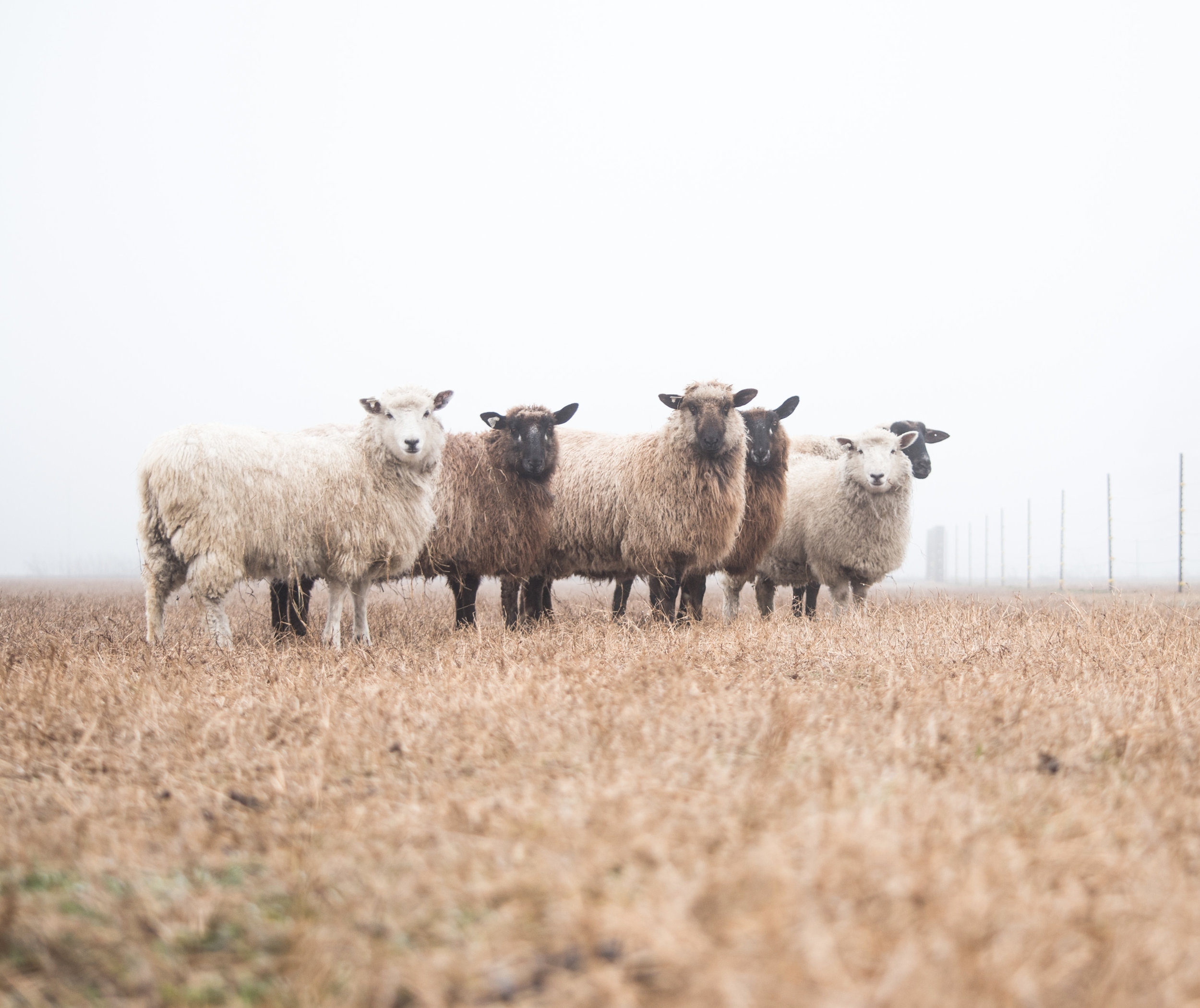 Here are a few of our girls. You can really see the color variety that wool naturally comes in. If you dye the natural color, darker wools, you'll get some really earthy colors. White fleeces will take on many more brighter tones.