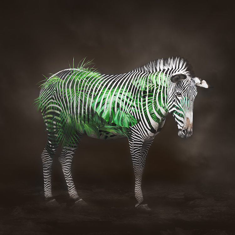 Title: Zebra - Life Circulation. Created in Japan 2018. Digitally enhanced. ©️SENSEGRAPHIA / Eriko Kaniwa all rights reserved.