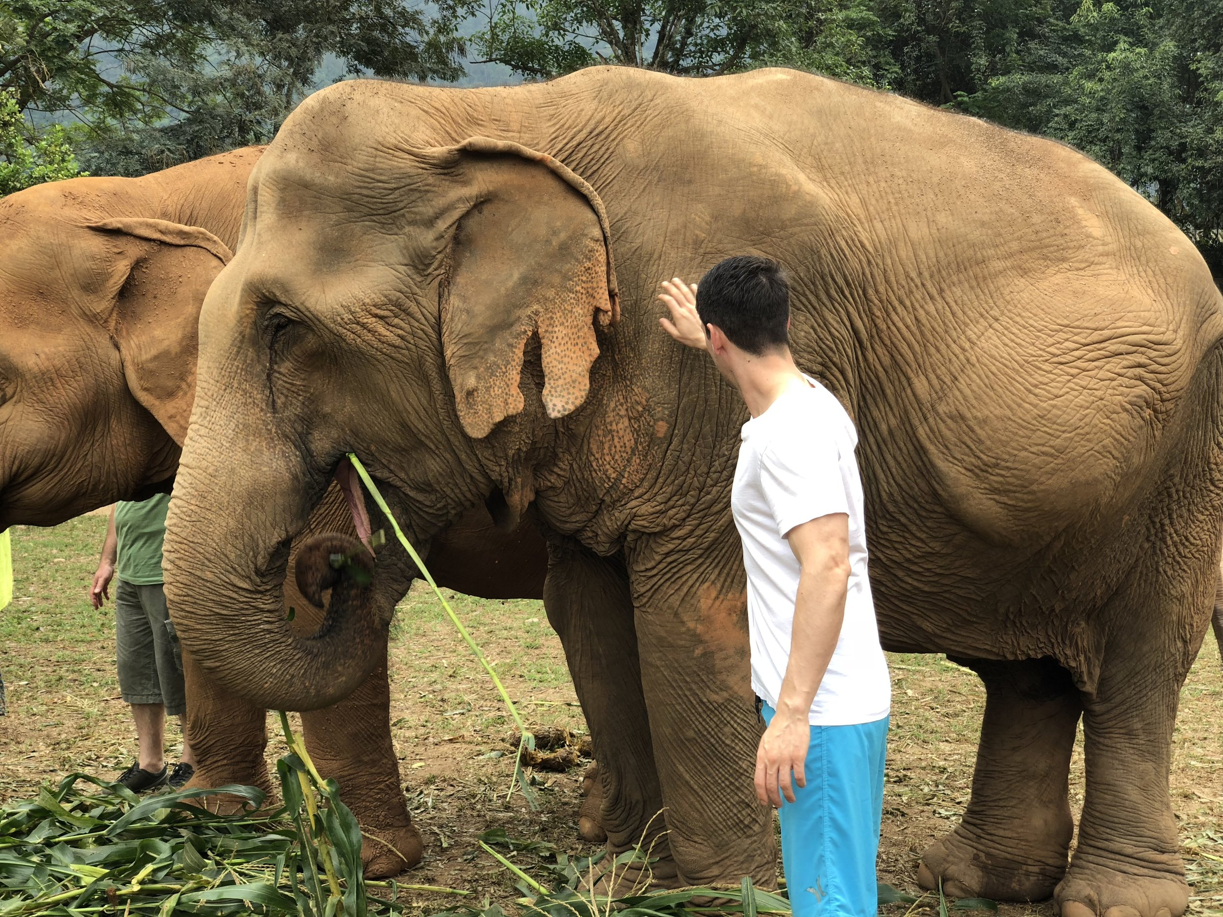 In this picture, you can see the elephant's damaged ear from the bullhooks used previously.