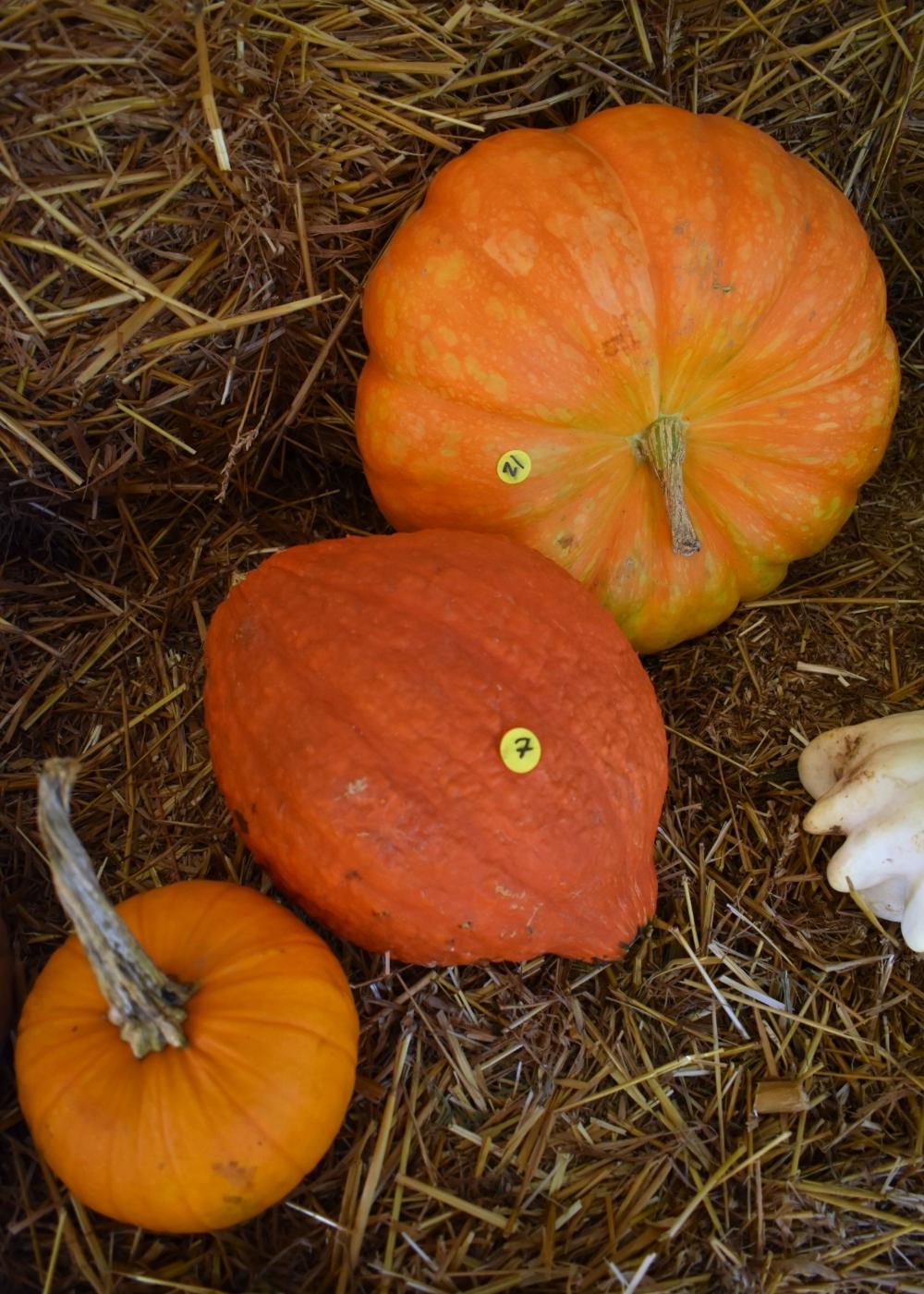 PumpkinPatch5.JPG