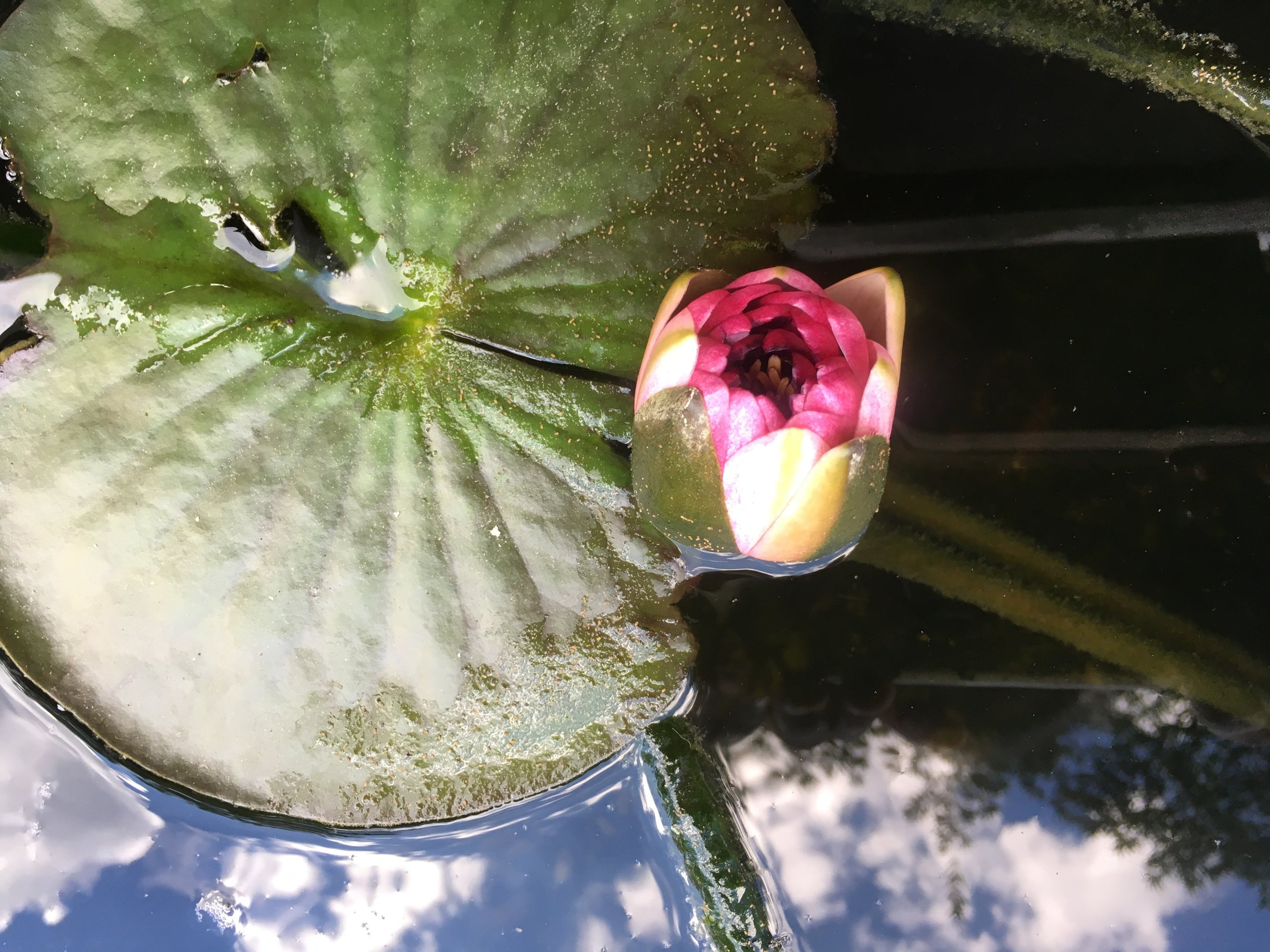 Lotus and Sky