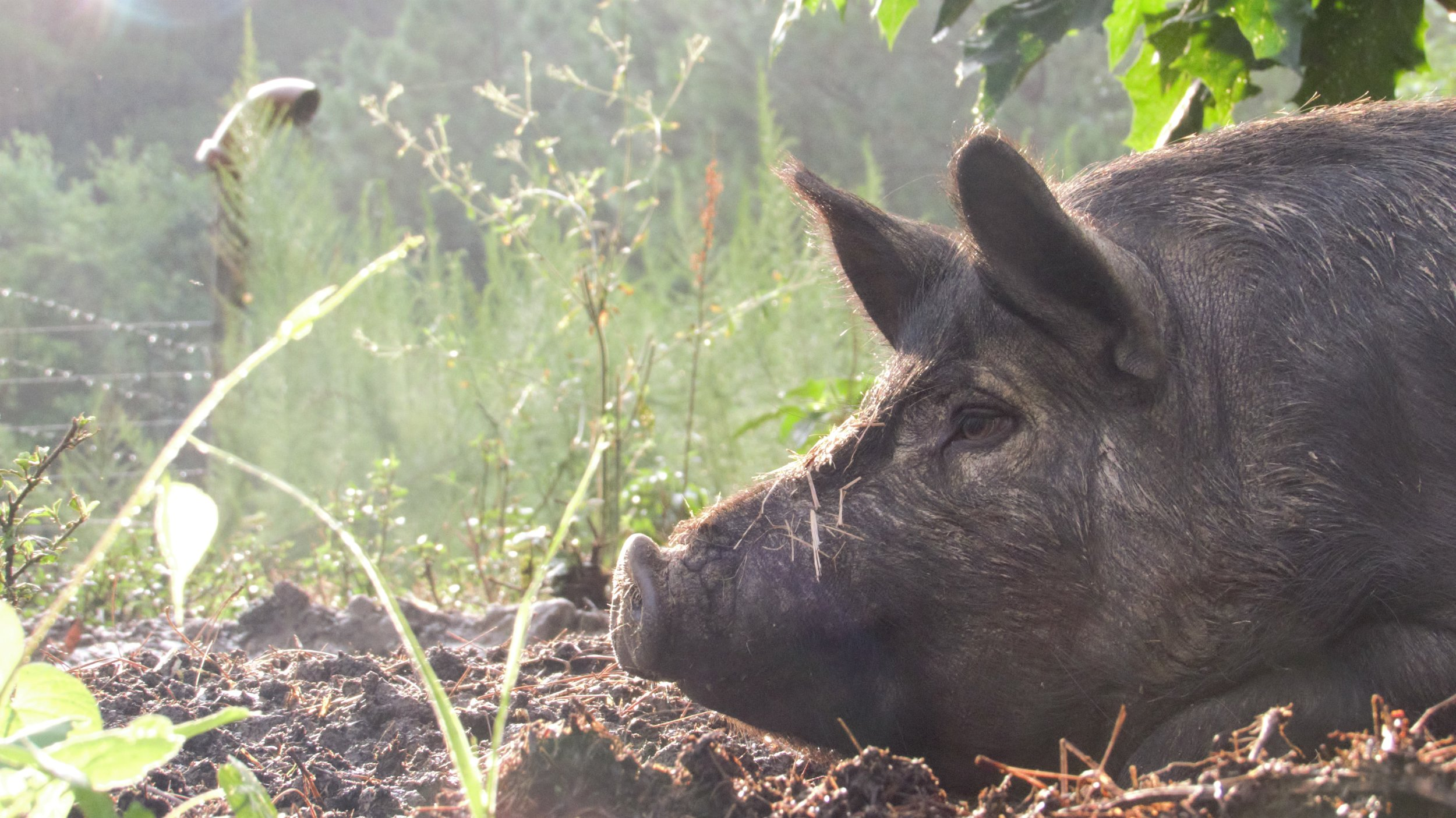 Livestock - We raise chickens and registered American Guinea Hogs on our farm in Bear Creek, North Carolina. We believe in raising things the right way; on fresh forage, living the way they were intended to.