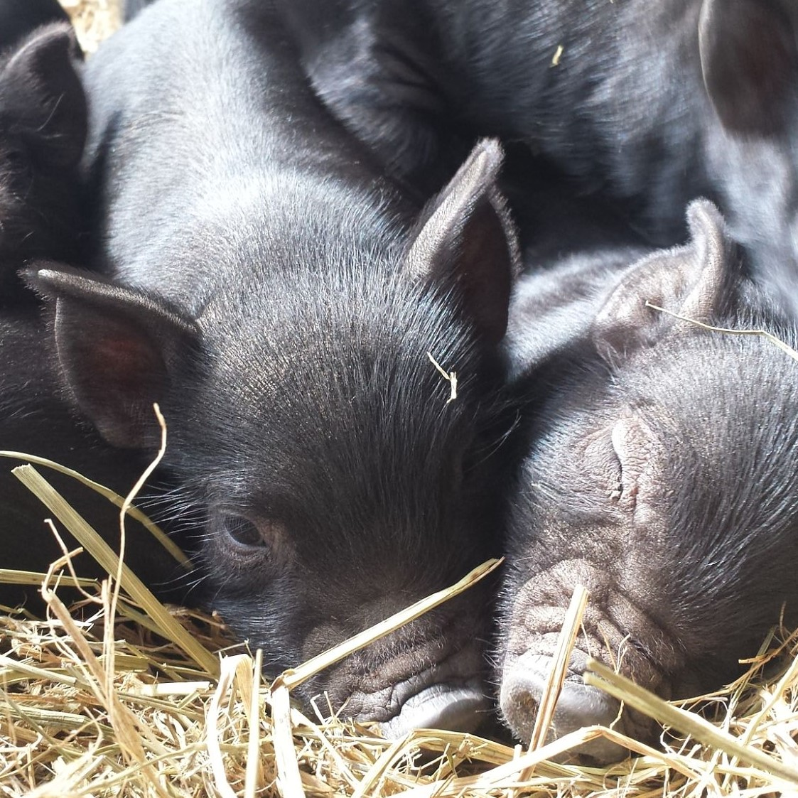 Piglets & Hogs - We pride ourselves on only registering the most exceptional examples of the breed, which is usually no more than two or three hogs a year. If you are looking for registered hogs or piglets, please contact us to see what we have available or to get on our waiting list. At the very least we can recommend you to another breeder if we don't have anything available.We usually have feeders (barrows only) of varying ages for sale.