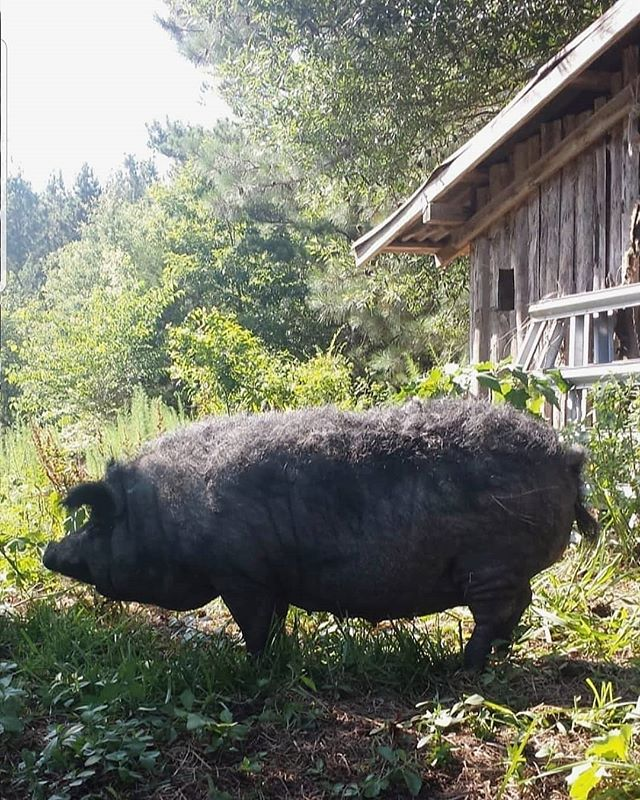 Sweet, darling Mayzie. Today marks her 11th year, and despite her wrinkles, slowing stride, and greying coat, she's still the most cheerful creature I've ever met. I think she might also be the gentlest; this sow has been giving toddlers actual piggy back rides since '08.  It'll be a sad day when I can no longer look out a window and see Mayzie with her descendants foraging around our house. She is the pig who made us pig people. She's walked this land longer than any other animal here on the farm, even longer than the youngest Schouten child.  Mayzie is retired now and spends her days greeting guests, wandering the farm, and watching over all her grandpiglets and great-grandpiglets.  #closertothelandhogs