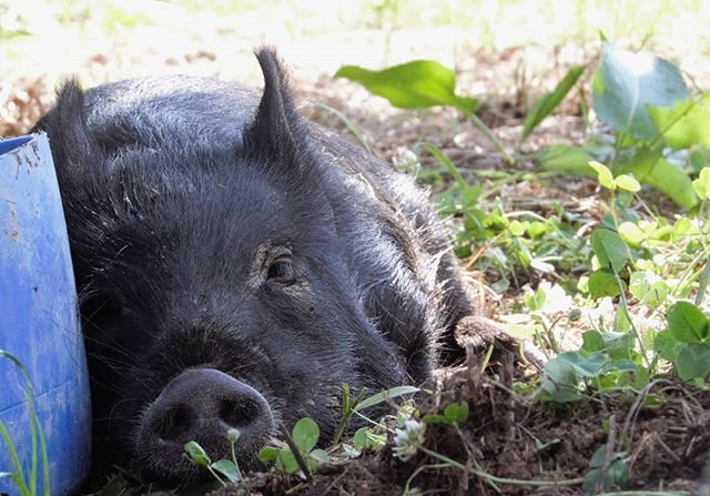 Did you know that pigs can't sweat or pant? 🐽 Although pigs do have some sweat glands, they don't do much to aid in heat relief. They have to rely heavily on mud and shade to stay cool. When it gets hot out they dig large, wide holes in the ground called wallows to roll around in. The mud from the wallows sticks to them and helps lower their body temperature and protect them from the sun.  To help our pigs stay cool, we encourage wallow making and keep them in at least partially wooded areas during the hottest months.  #closertothelandhogs