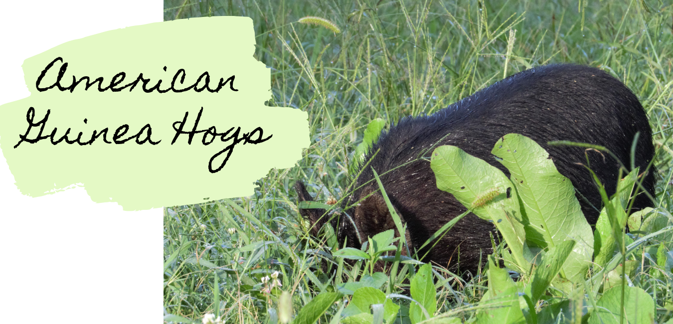 American Guinew Hogs.png