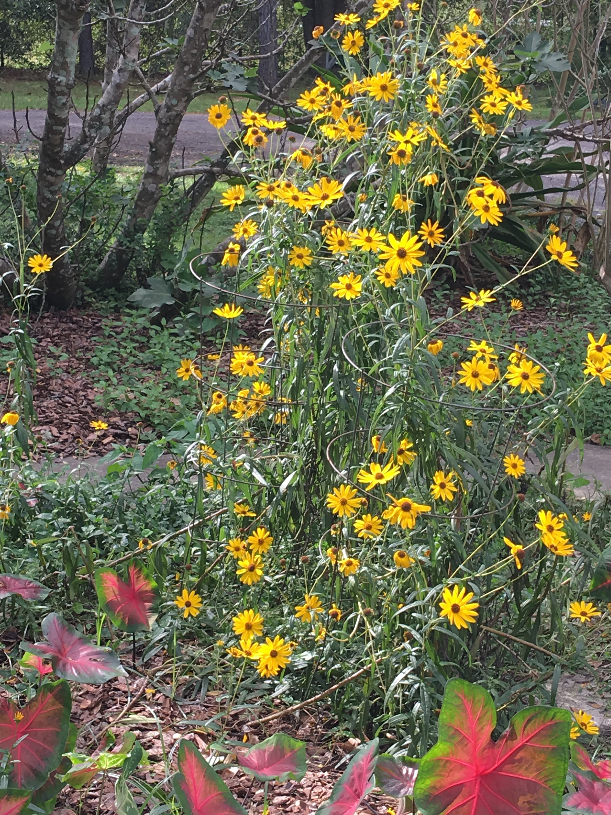 The tall yellow plants are coreopsis and the colorful leaves in the foreground are caladiums.