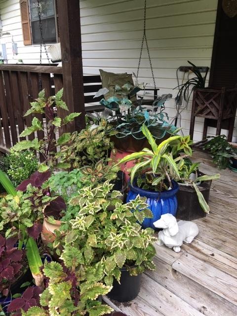 Coleus running wild on my porch.