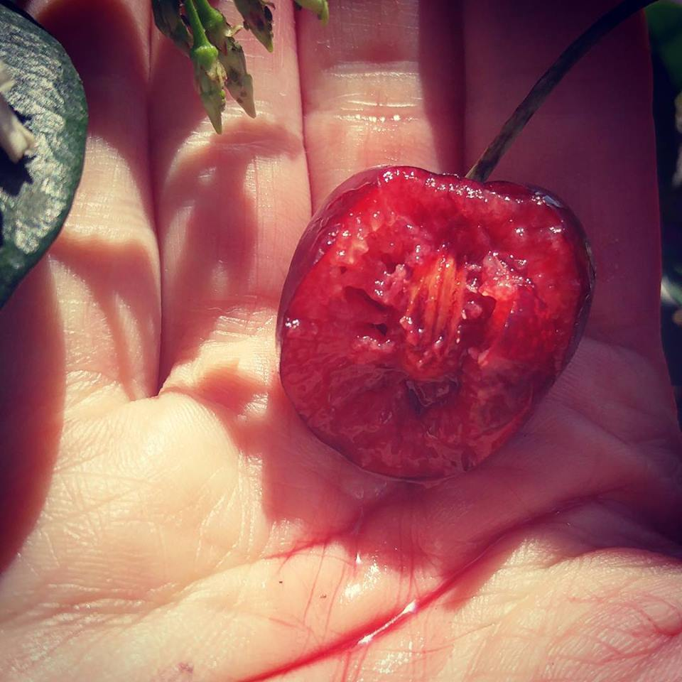 my pale hand holding half a cherry whose red juice is dripping down my palm. there are green leaves in the background