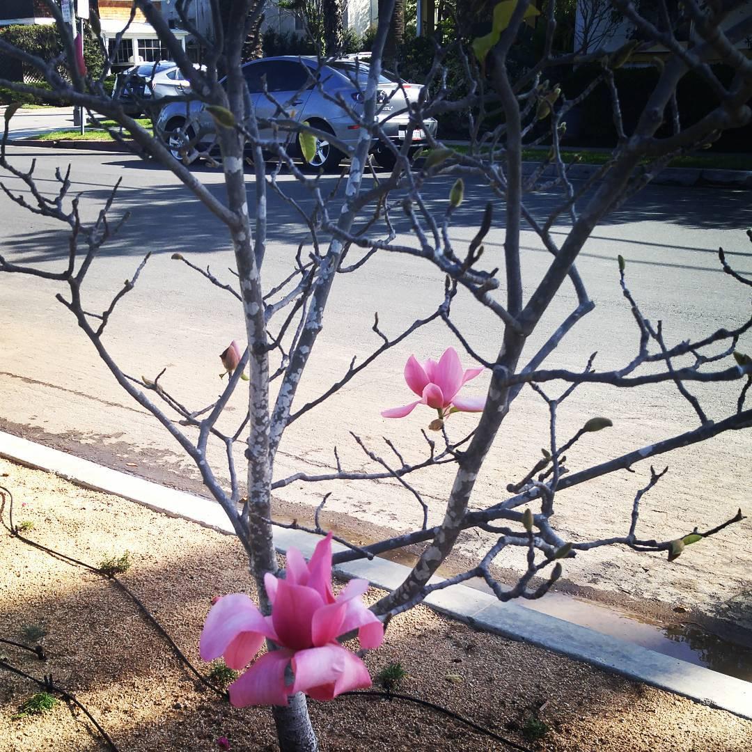 Magnolia tree, 2016.