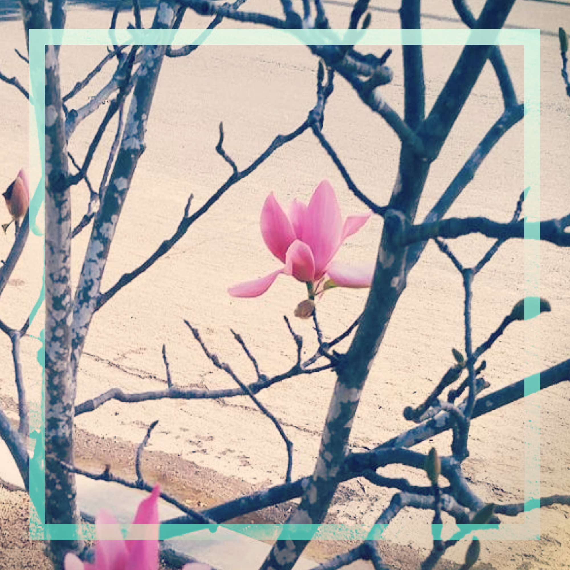 a square image of a leafless magnolia tree with two bright pink blossoms and a cream or sand colored background with a light teal square framing the image