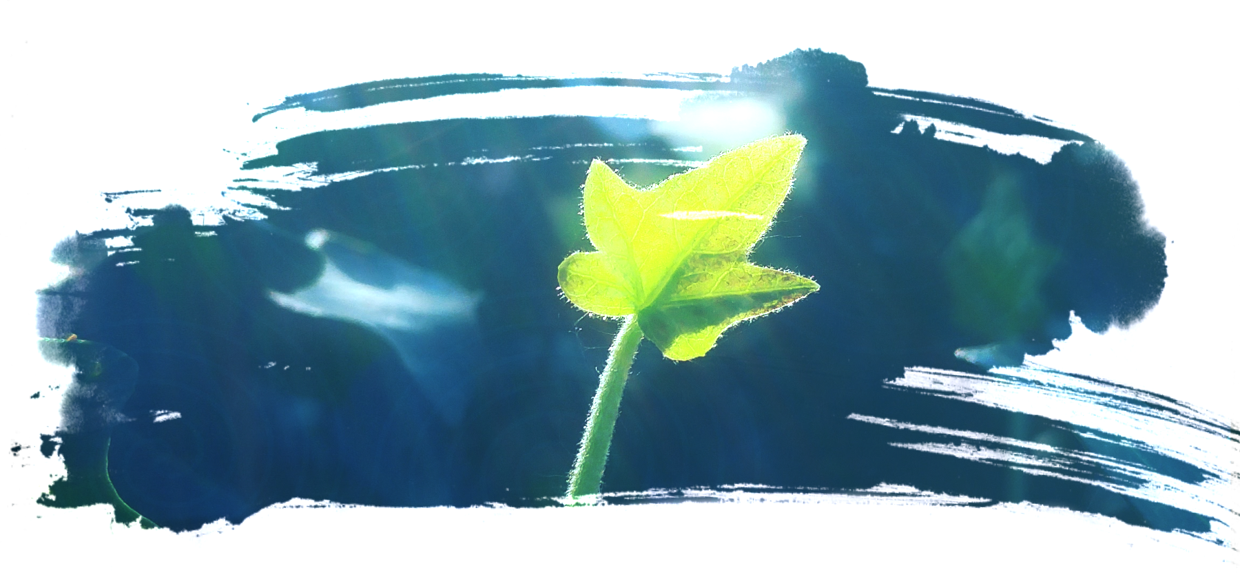 a brushstroke shaped image with a single baby ivy leaf facing an unseen light source with a teal dark greenish background which is slightly blurred