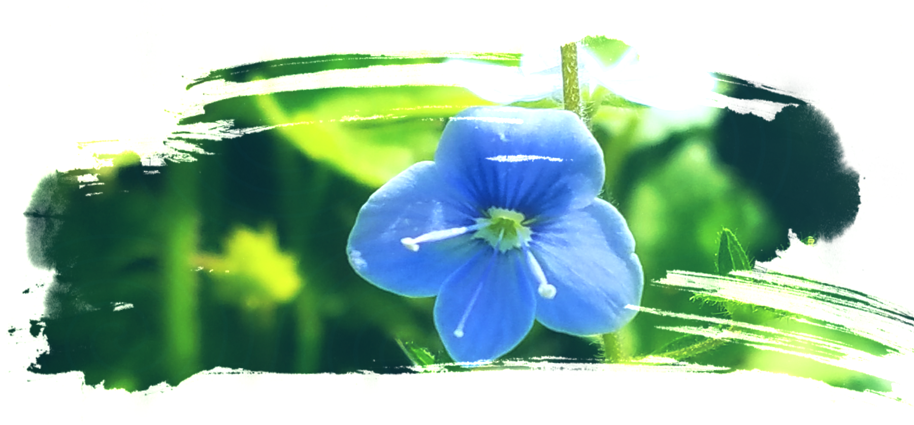 a brushstroke shaped image with a close up picture of a four petaled periwinkle colored veronica flower ad a bright green background of blurred grass