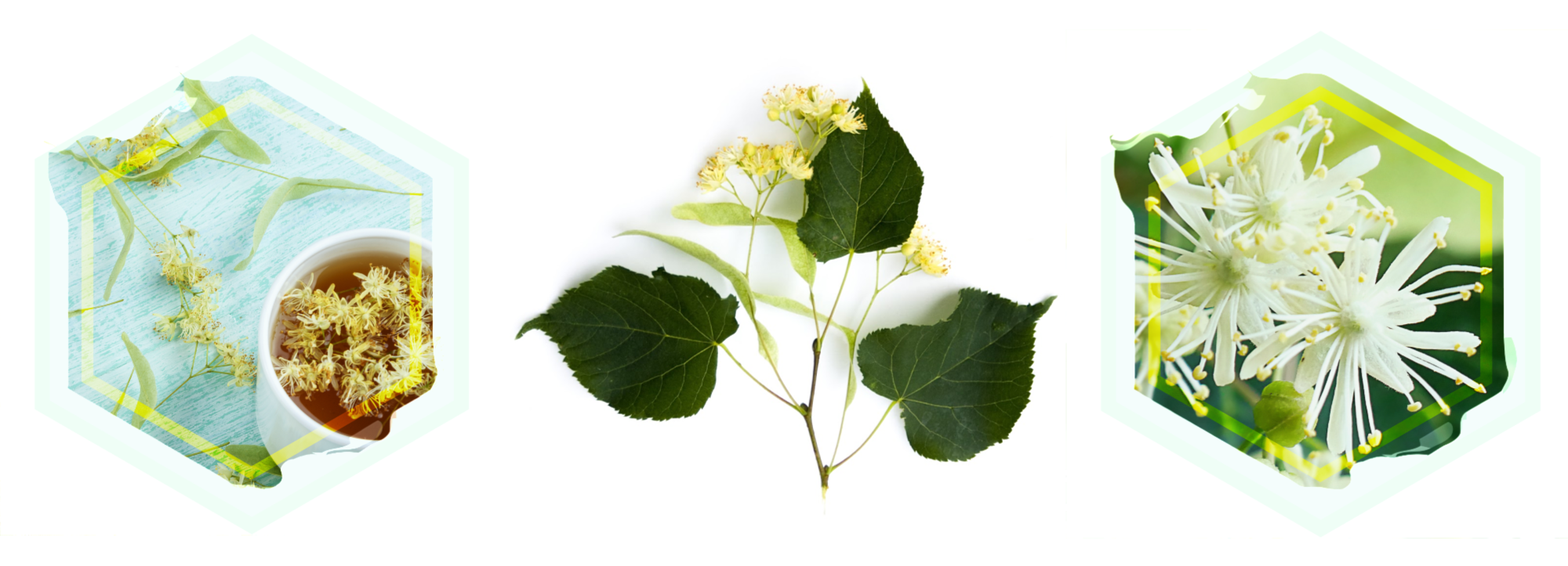 a graphic of a teal hexagon with a white cup of amber tea and graphic of a linden branch and flower cluster and the green hexagon with a few linden flowers in it