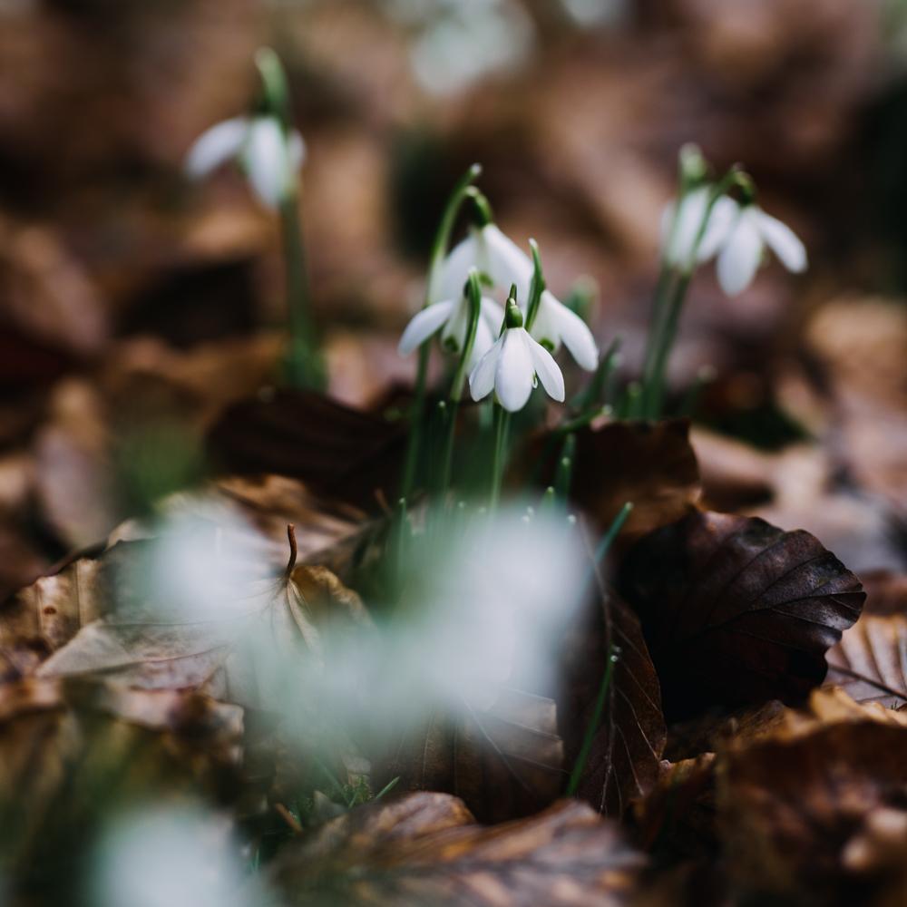 swyncombe-snowdrops-churchyard-oxfordshire-evanemeth_04.jpg
