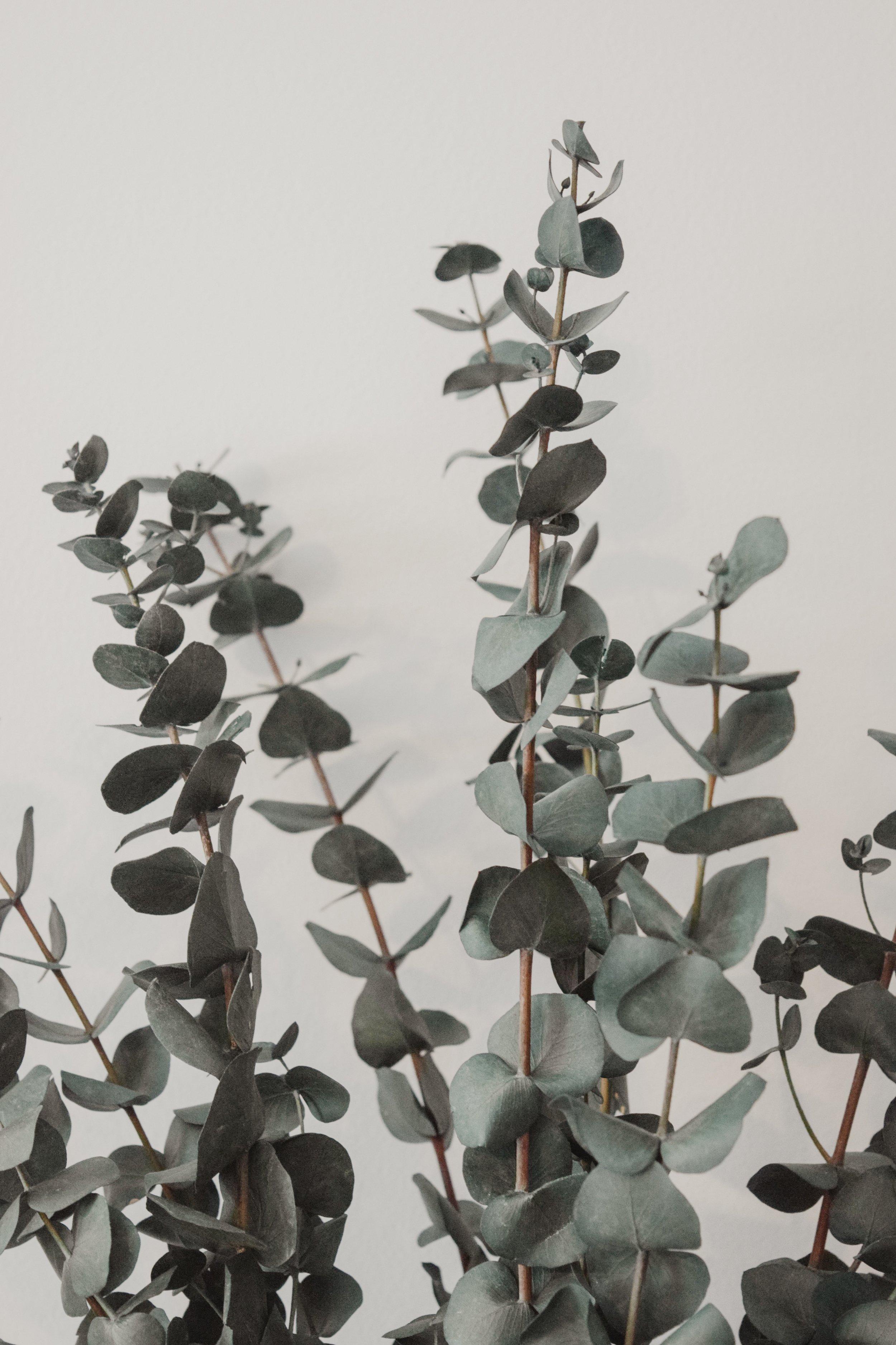 Eucalyptus_02.jpg