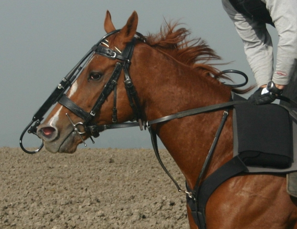 A horse fitted with the overground endoscope to record upper airway function at speed.