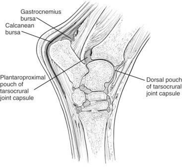 """Anatomy of the hock of the horse. """"calcanean bursa"""" indicates the subtendineous bursa we performed surgery on (situated between the superficial flexor tendon and the gastrocnemius muscle."""