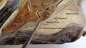 Sagittal section through the hoof, the pointer is marking the position of the navicular bursa.