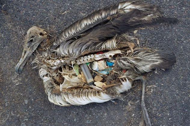 Microplastics found in Albatross stomach