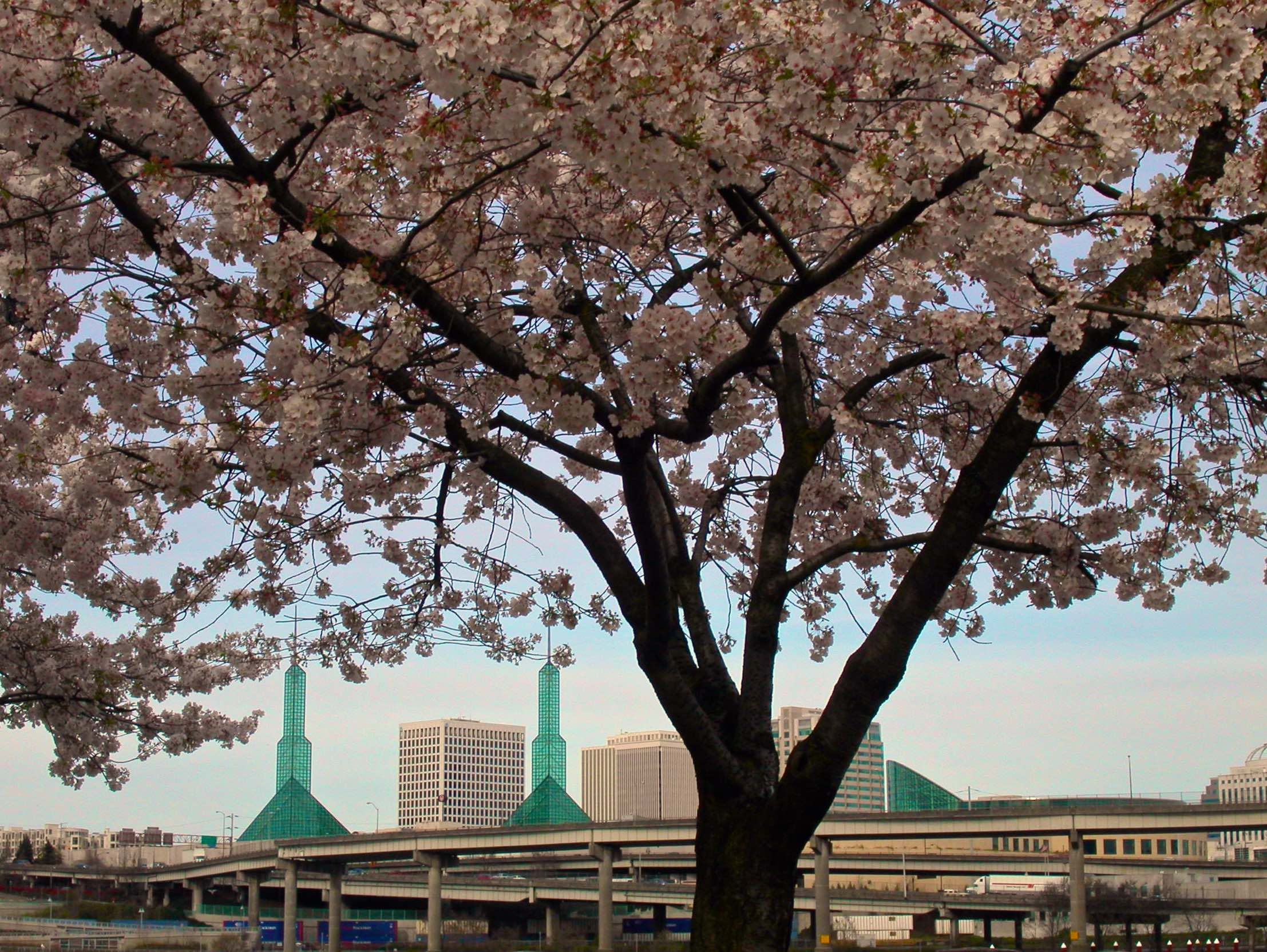 Japanese Cherry Blossoms frame the Portland Convention Center