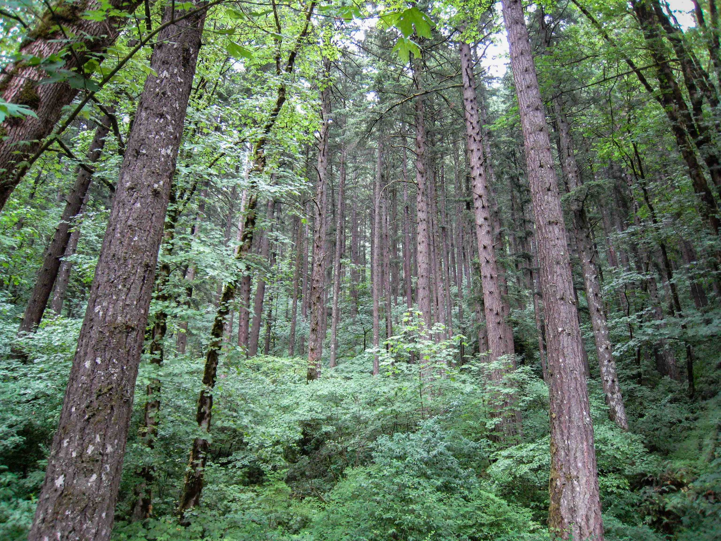 Forest along the Columbia River Gorge