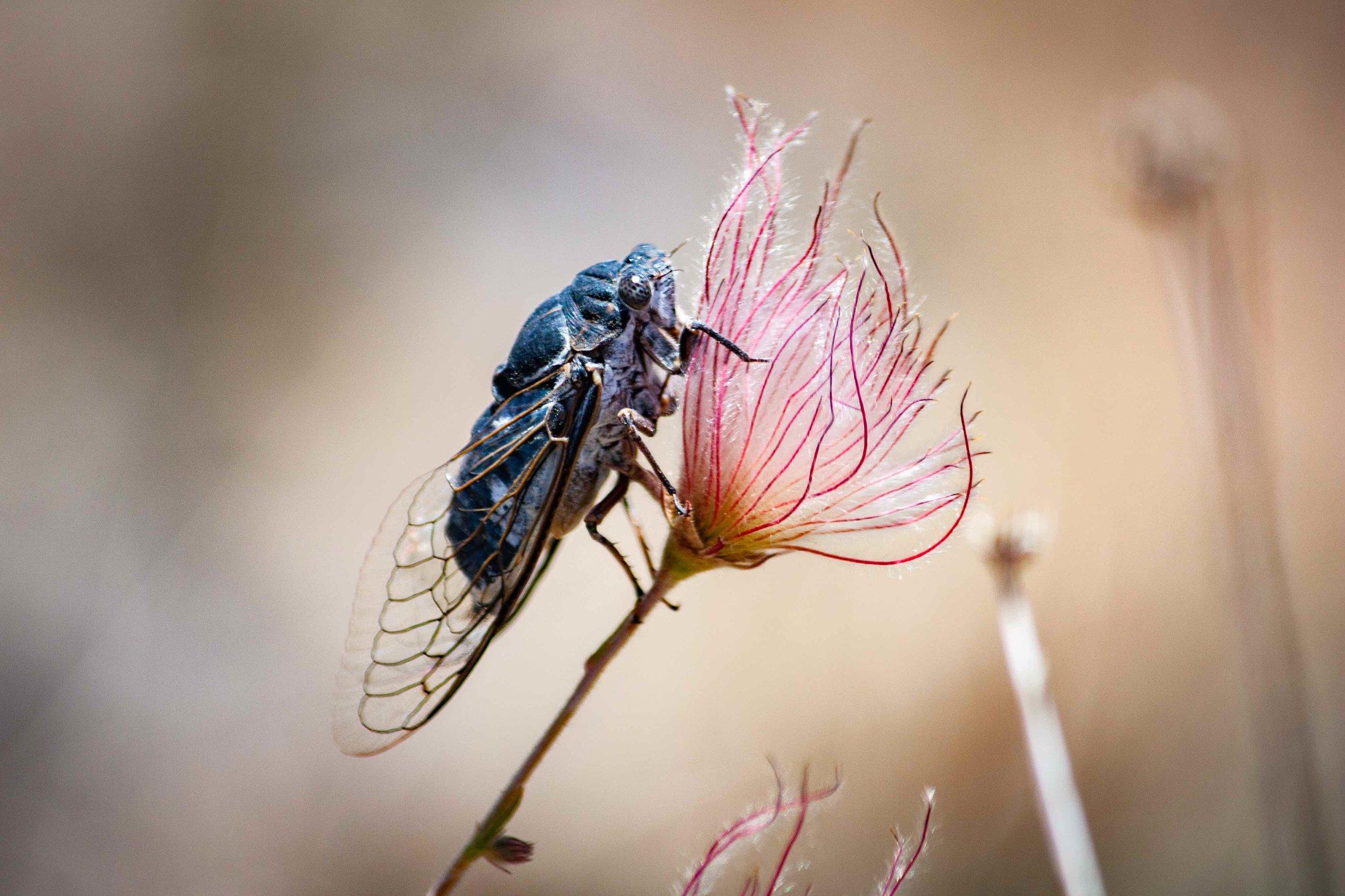 Cicada on Apache Plume