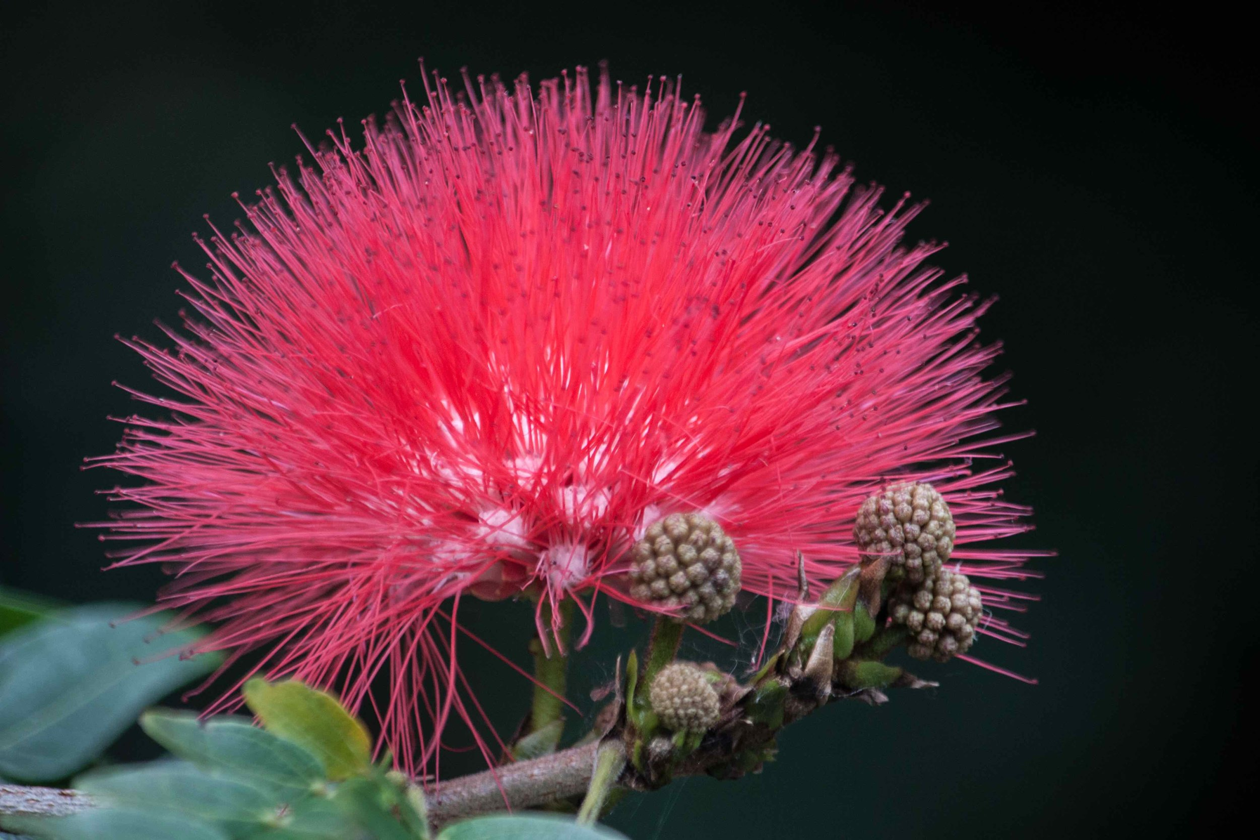 Australian Caliandra Tweedie (Red Powder Puff)