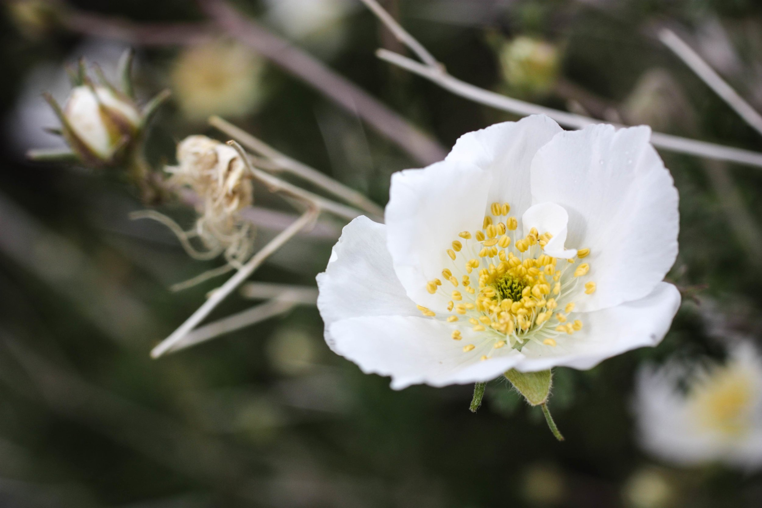 White Apache Plume Flower