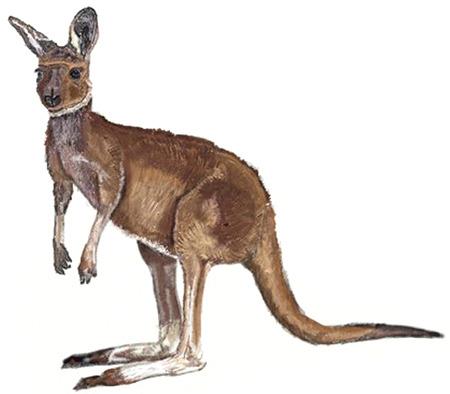user kangaroo.jpg