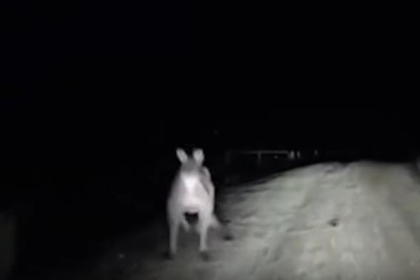 phantom kangaroo
