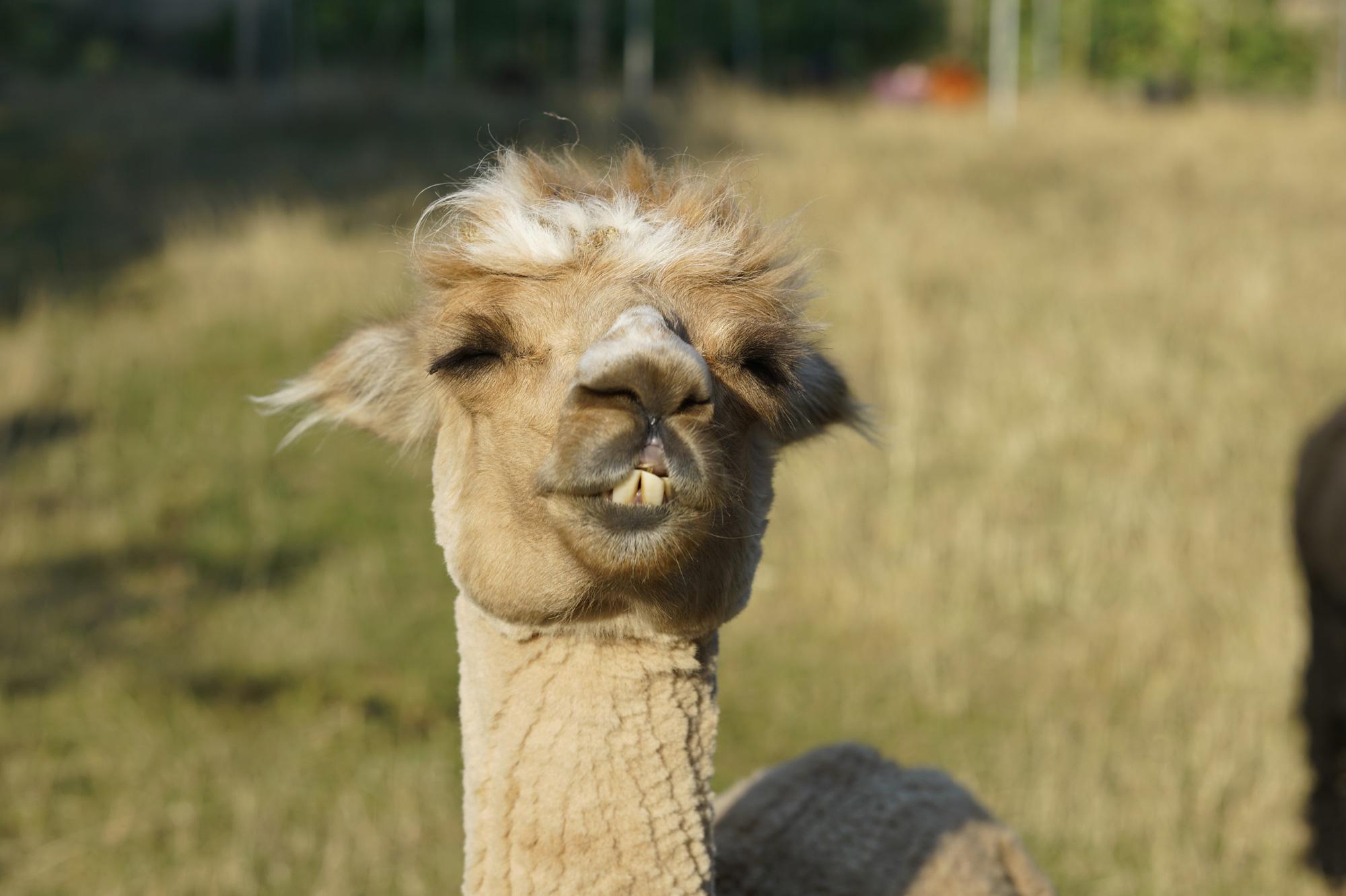 Alpaca4.jpg