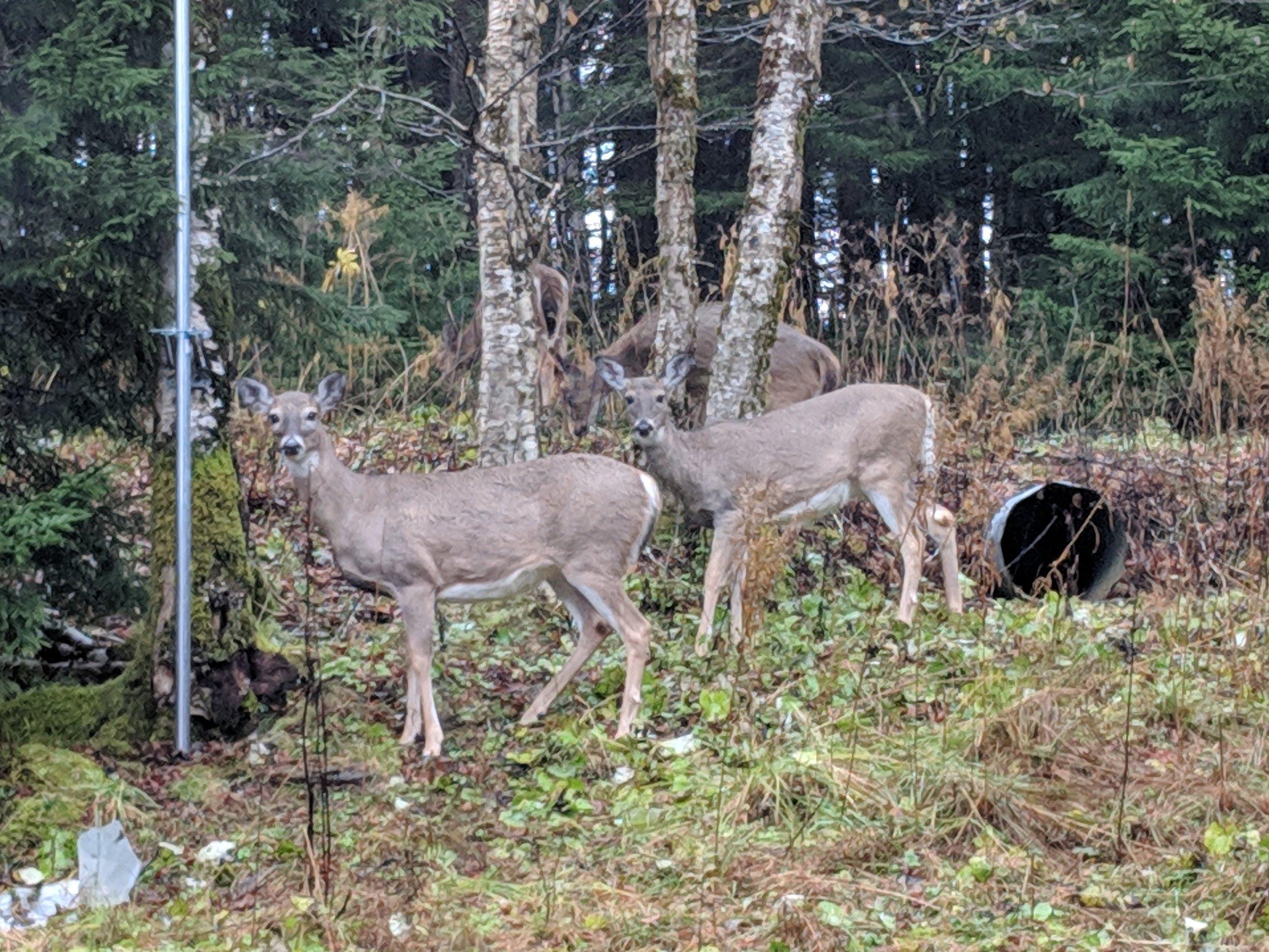 Deer Visit Daily!