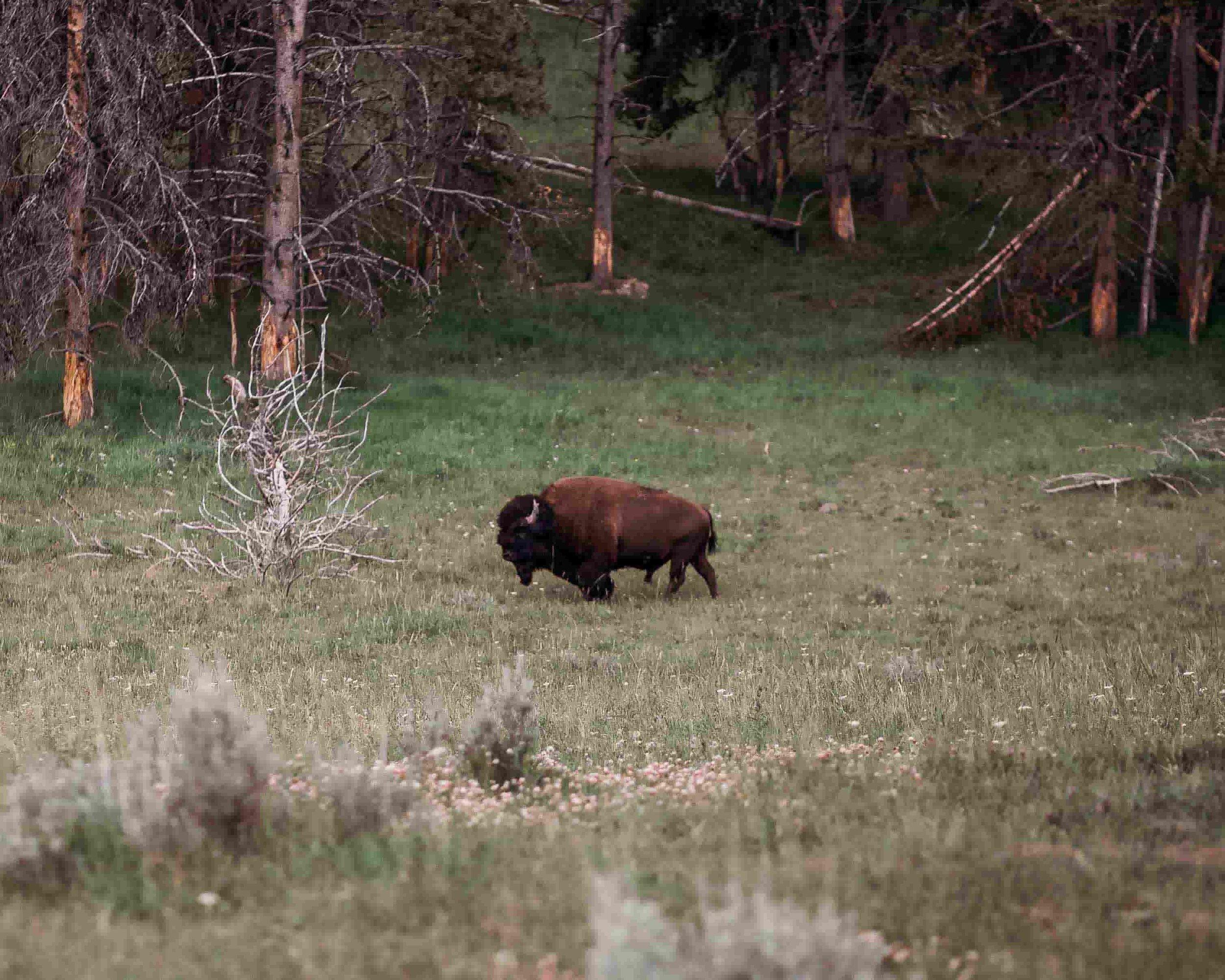 Yellowstone Hayden Valley3.jpeg