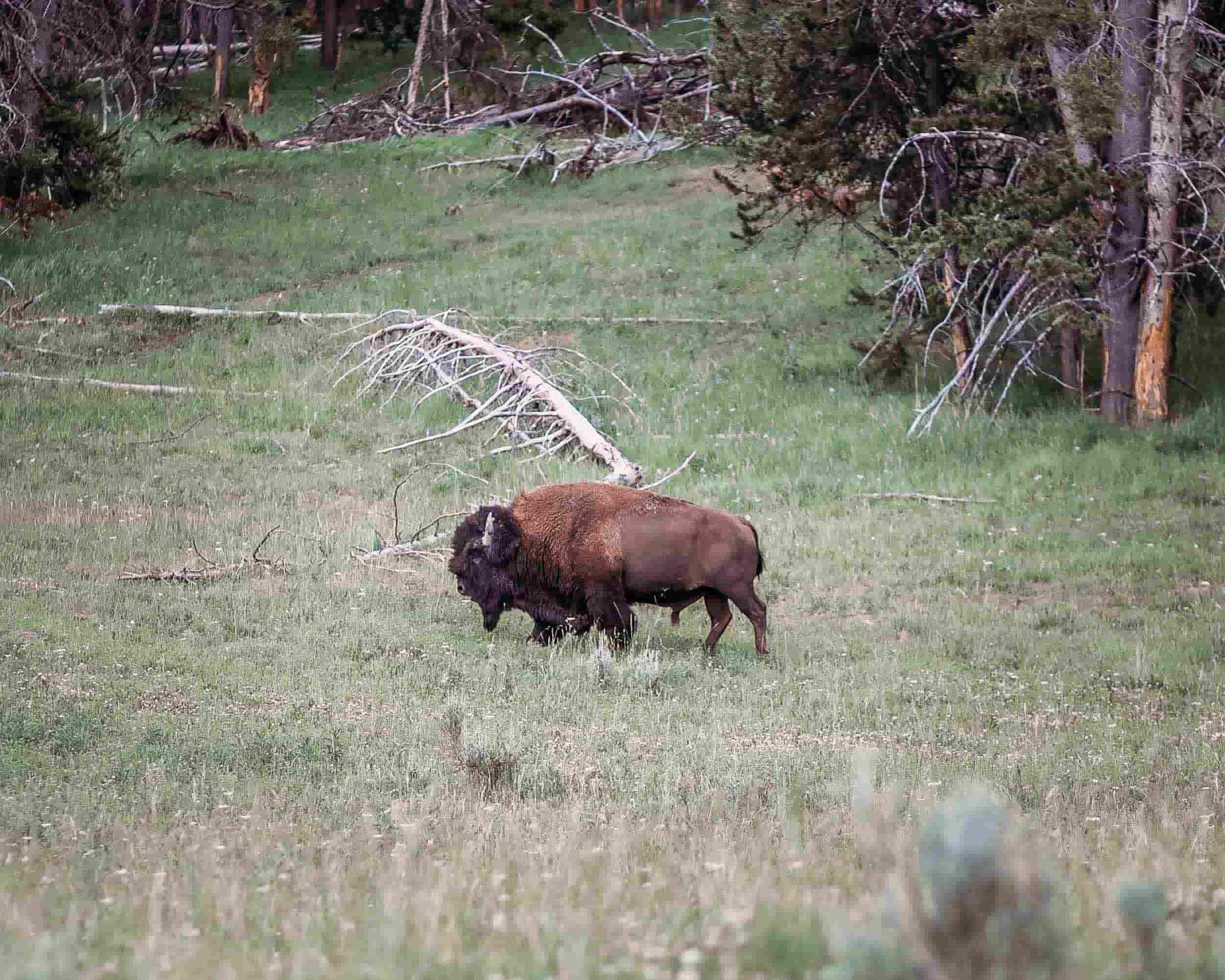 Yellowstone Hayden Valley4.jpeg